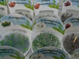 Echinodorus tenellus_1