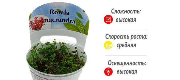 Rotala_macrandra1