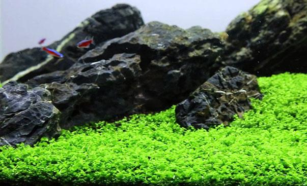 micranthemum-monte-carlo1