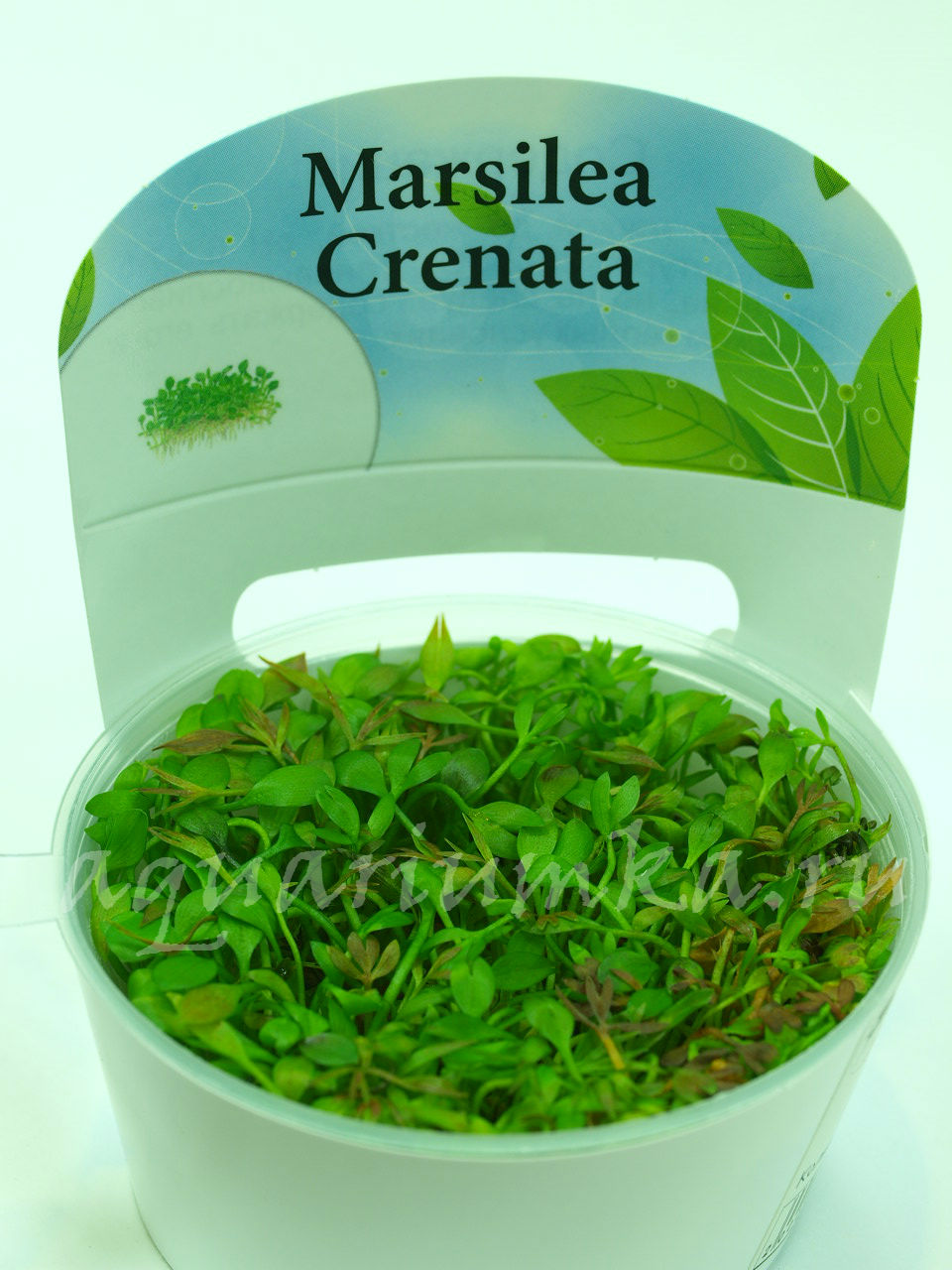 http://aquariumka.ru/wp-content/uploads/2015/06/Marsilea-Crenata.jpg
