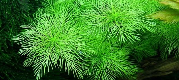 Myriophyllum matogrossense_1