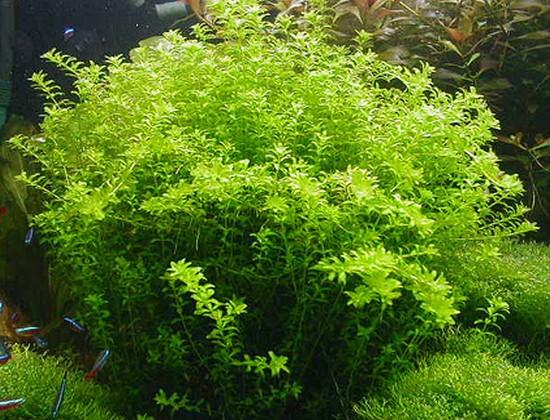 Micranthemum_micranthemoides_l