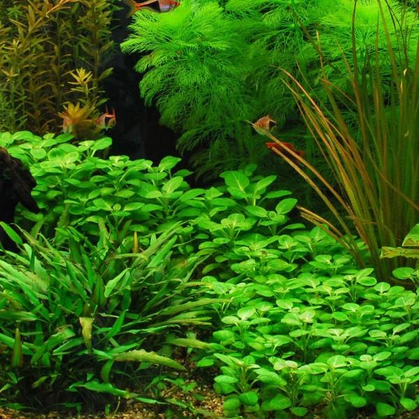 lobelia aquarium plant